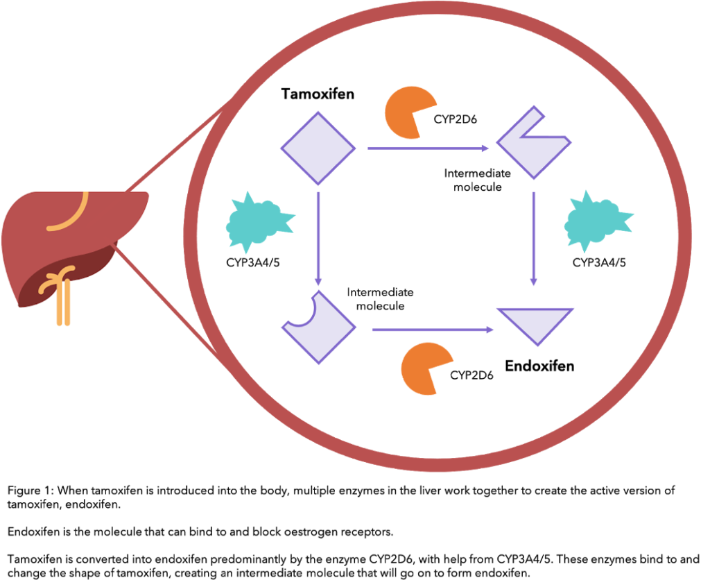 A figure showing how Tamoxifen works and is processed in the liver.